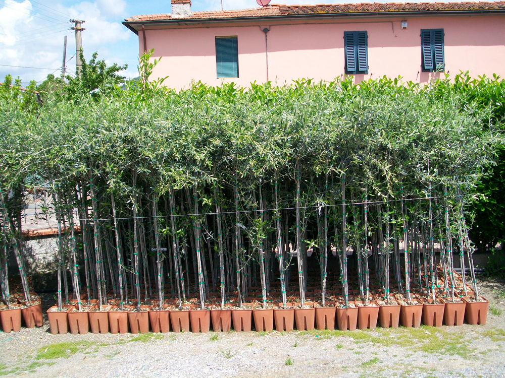 Fotografie vendita alberi di olivo pescia for Alberi in vendita
