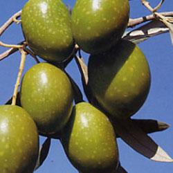 vendita piante olivo taggiasca